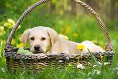 Leuk labrador retriever-puppy die in een mand liggen stock afbeeldingen