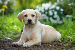 Leuk labrador retriever-puppy die in een tuin liggen royalty-vrije stock afbeeldingen
