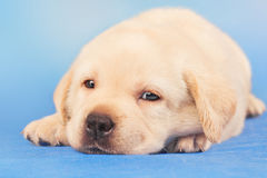 Leuk Labrador retrieverpuppy Stock Fotografie