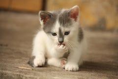 Leuk lichtgrijs katje die zijn poot wassen Stock Afbeeldingen
