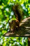 Leuk nieuwsgierig eekhoorndier stock fotografie