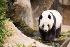Leuk Panda Bear Royalty-vrije Stock Afbeeldingen