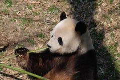 Leuk Panda Bear Eating een Groene Spruit van Bamboe stock afbeeldingen