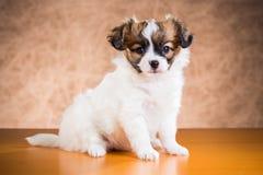 Leuk Papillon-puppy Royalty-vrije Stock Afbeelding