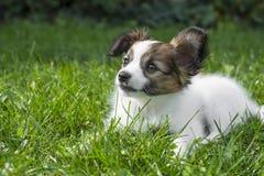 Leuk Papillon-puppy Stock Foto