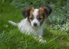 Leuk Papillon-puppy Stock Foto's