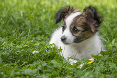 Leuk Papillon-puppy royalty-vrije stock afbeelding