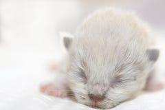 Leuk Perzische katkatje op het bed Royalty-vrije Stock Fotografie