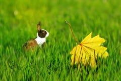 Leuk pluizig konijn op groen gras met gele de herfstbladeren Artistiek de herfst natuurlijk beeld royalty-vrije stock afbeelding