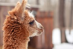Leuk pluizig rood alpacaclose-up Stock Foto