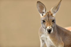 Leuk portret van een kangoeroe Royalty-vrije Stock Foto