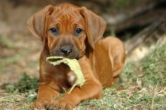 Leuk puppy Royalty-vrije Stock Afbeelding