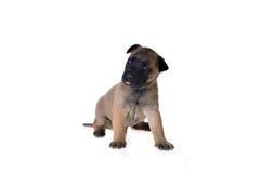 Leuk Puppy Stock Afbeeldingen