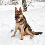 Leuk puppy, de hond van de Duitse herder Stock Fotografie