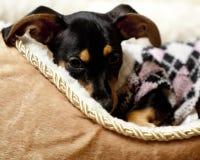 Leuk puppy die een roze en witte sweater dragen Stock Afbeeldingen