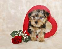 Leuk Puppy Morkie Royalty-vrije Stock Foto's