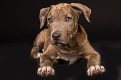 Leuk puppy pitbull Royalty-vrije Stock Fotografie