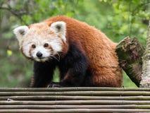 Leuk Rood Panda Looking bij de Camera stock afbeelding