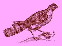 Leuk roofdier: Europees-Aziatische sparrowhawk die een gevangen vogel in t houden royalty-vrije illustratie