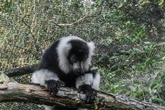 Leuk ruffed de zwart-witte zitting van de makiaap op een boomtak en het kijken onderaan aanbiddelijk primaat dierlijk portret stock foto