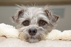 Leuk Shaggy Dog Resting in Bed stock foto's
