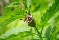 Leuk Shaggy May Beetle Grows in de Zon Maybug zit op de steel van de netel Junikever in aard stock foto's