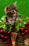 Leuk Siberisch katje Royalty-vrije Stock Afbeelding