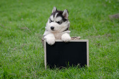 Leuk Siberisch schor puppy die zwarte raad houden Royalty-vrije Stock Fotografie
