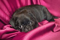 Leuk slaperig pug puppy royalty-vrije stock foto's