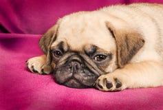 Leuk slaperig pug puppy stock foto's