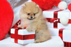 Leuk spitz puppy stock afbeeldingen