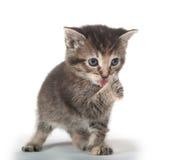 Leuk tabby katje dat zijn poot likt Stock Afbeelding