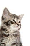 Leuk tabby katje op wit Stock Fotografie