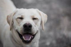 Leuk uitziende Labrador met een grappige uitdrukking stock foto