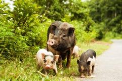 Leuk varken met biggetjes op plattelandsweg stock foto's