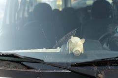 Leuk vet varkensstuk speelgoed achter het het windschermvenster van een auto royalty-vrije stock foto's