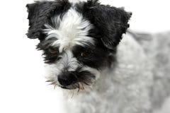 Leuk weinig bastaarde hond met enge het kijken ogen Stock Foto