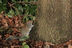 Leuk weinig bruine eekhoorn ter plaatse dichtbij de boom Royalty-vrije Stock Afbeelding