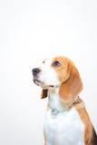 Leuk Weinig de studioportret van de brakhond - witte achtergrond royalty-vrije stock foto's