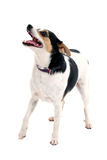 Leuk Weinig Hond die zich met Open Mond bevindt Royalty-vrije Stock Fotografie