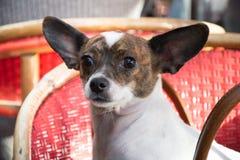 Leuk weinig hond in een café Stock Foto's