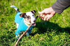 Leuk weinig hond met genoegen die aan houten stok in gras knagen stock afbeeldingen