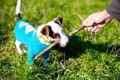 Leuk weinig hond met genoegen die aan houten stok in gras knagen royalty-vrije stock afbeelding