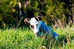 Leuk weinig hond met genoegen die aan houten stok in gras knagen stock foto