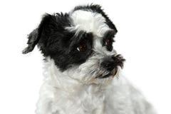 Leuk weinig hond met grote ogen Stock Afbeelding
