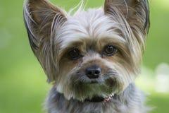 Leuk weinig hond van Yorkshire, groene achtergrond Royalty-vrije Stock Foto's