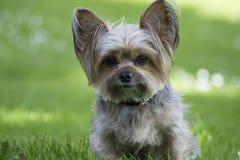 Leuk weinig hond van Yorkshire, groene achtergrond Stock Afbeeldingen