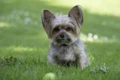Leuk weinig hond van Yorkshire, groene achtergrond Royalty-vrije Stock Foto