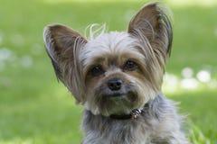Leuk weinig hond van Yorkshire, groene achtergrond Stock Afbeelding