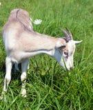 Leuk weinig jong geitje dat gras eet Royalty-vrije Stock Fotografie
